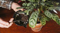 Sfaturi pentru a scoate plantele din ghivece - Priceput.EU