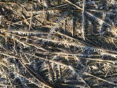 Bevroren dauw op stengel pijpenstrootje is ook al fraai