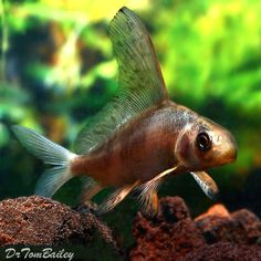 Buy Pet Fish Online