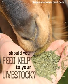 How and Why to Feed Kelp to Livestock: