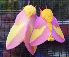 Dryocampa rubicunda, The Rosy Maple Moth