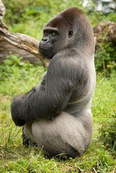 Silverback Gorilla by A. Nature Animals, Animals And Pets, Baby Animals, Funny Animals, Cute Animals, Wild Animals, Primates, Mammals, Mundo Animal