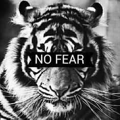 tiger black white nofear whiskers stripes confidence roar cat wild