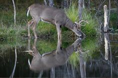 Reflections so clear you could imagine a parallel universe. Bow Hunting Deer, Hunting Girls, Turkey Hunting, Whitetail Deer Pictures, Deer Pics, Deer Family, Whitetail Bucks, Hunting Season, Oh Deer