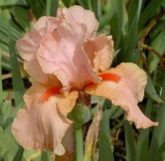 TB Iris germanica 'Pompano Peach' (Schreiner, 1963)