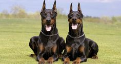 Doberman The Doberman may look extremely scary, but it is also very smart. Dobermans are most commonly associated with being guard dogs and have been used for their power and fear-inducing appearance with great success. However, the Doberman has in recent years become much more docile through selective breeding and has retained its superior intelligence. It is their ability to differentiate between friend and foe that shows just how smart they are, and their vigilant instincts help to…