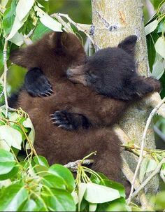 Black Bear Cubs Sleeping    These cubs, started wrestling in this cottonwood tree, then promptly fell asleep in the middle of their play! Canadian Rockies, Alberta