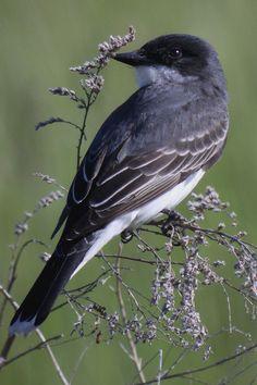 The 'Eastern Kingbird' (Tyrannus tyrannus) is a large tyrant flycatcher native to North America.