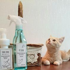 yukiさんの、ペット消臭剤,猫ケージ,ブリティッシュショートヘア,棚,のお部屋写真