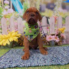Dogue de Bordeaux dog for Adoption in Commerce, GA. ADN-534501 on PuppyFinder.com Gender: Male. Age: Baby