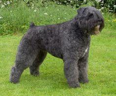 Boyero de Flandes http://www.mascotadomestica.com/razas-perros/boyero-de-flandes.html