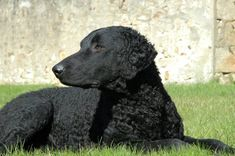 The Curly Coated is the tallest of all Retrievers, and with origins insixteenth century England, it may be the oldest of all the retrievers, as well. It was the first breed classified as a retriever and exhibited at a dog show, and of the curly coated breeds, is the only one named for its curly coat. Also differing from the more popular retrievers is that the Curly'sbody structureis moremuscular, its body slightly longer than tall, and it hasa coat, but no undercoat. Some breed…