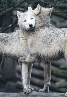 another example of animals & their affection for each other ... no words are needed ... #wolves