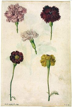 Jacques Le Moyne de Morgues, 'Three Pinks and Two Marigolds