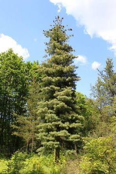 Idaho's State Tree ~ Western White Pine