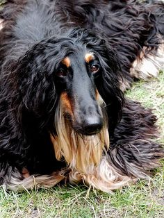 Rasmus, the Afghan Hound, approx. 1.5years old, Born in Bristol, UK. Lives in Vihti, Finland