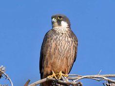 Eleanors Falcon                 Falco Eleonorae
