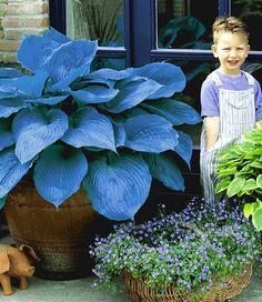 Riesen-Hosta blau 'Halcyon': 60-80cm, grosser Topf, Schatten, zieht sich im Winter zurück