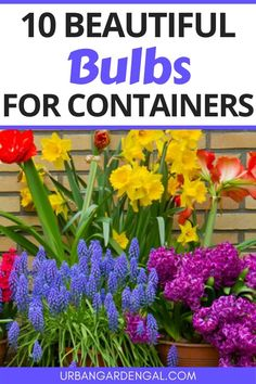 Growing flower bulbs in containers is a great way to brighten up your backyard or balcony. Here are 10 of the best flower bulbs for pots and containers. #bulbs #flowergarden #flowers