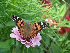 MTBobbins Photography - Butterfly on Zinnia