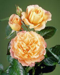 Rose 'Samaritan' • Rosa 'Samaritan' • Plants & Flowers • 99Roots.com