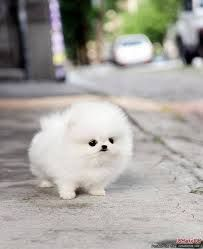 Cute Fluffy Dogs, Cute Baby Dogs, Fluffy Animals, Cute Puppies, Dogs And Puppies, Corgi Puppies, Doggies, Bear Dogs, Cute White Puppies