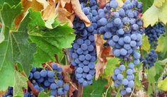 I #RiproPost di Carpevinum - Alla scoperta dei #vitigni: il #Cabernet #Sauvignon  http://owl.li/P02ss