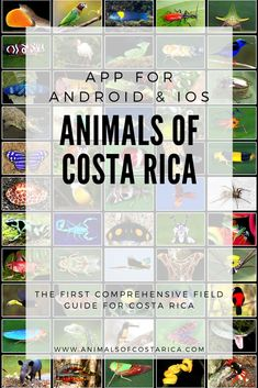This app is the first comprehensive field guide of animals of Costa Rica containing almost 7000 pictures of more than 4700 common or spectacular species from mammals, reptiles, birds, amphibians as well as freshwater and marine fish to insects and spiders and many more. #ACRApp #AnimalsOfCostaRica #PuraVida Amphibians, Mammals, Reptiles, Marine Fish, Field Guide, Marketing Materials, Costa Rica, App, Spiders