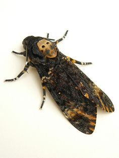 Death's Head Moth - In recognition of the Dark Discussions Hannibal episode.