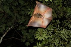 A female colugo (Cynocephalus variegatus) carrying its baby as it glides from tree to tree.