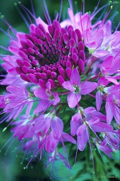 flowersgardenlove: Purple Cleome Beautiful gorgeous pretty flowers