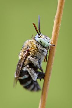 Long Tongued Blue Banded Bee