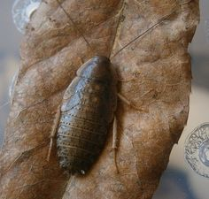 Rhabdoblatta formosana Invertebratedude.blogspot.com Roaches, Moth, Insects