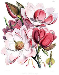 magnolia for tattoo, this would be a beautiful shoulder piece!