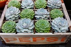 Create a succulent container garden by potting a plant in each square.  Source