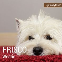 Gorgeous Frisco is a Westie boy born and raised in San Francisco and is now living in Bangkok. #dog #instagram #westie