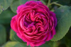 Rosa 'Rosa De Recht'