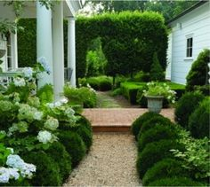laurel hedge around back patio boxwood with hydrangea