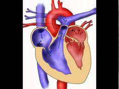 aufgaben herz aufgaben herz Wie groß und wie schwer ist das Herz? aufgaben herz Die Größe des Herzens kann man sich anschaulich vorstellen: als etwas mehr als Faustgröße des jeweiligen Menschen. Das Gewicht des Herzen liegt um 300 g. Was versteht man unter kritischem Herzgewicht? aufgaben herz Unter krankhaften Bedingung vergrößert sich die Herzmuskulatur. Das Herz hypertrophiert! Hierbei nimmt die Muskelmasse des Herzens an Gewicht zu. Donald Duck, Disney Characters, Fictional Characters, Medicine, Dinner Table, People, Heart, Fantasy Characters, Medical