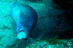 In 2011, a professional diver captured this amazing image of a fish smashing a clam against a rock to get at its innards, proving that fish have vastly superior capacities than previously believed. (From my anthro background, this is stunning! It has the possibility to change the way we see origin theories.)