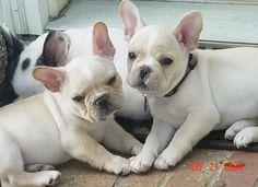 french bulldog cream fawn - Google Search