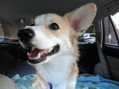 Up Next: Devyn goes to Canada  More adventures with Devyn the Corgi!