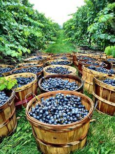 Les #vendanges sont le moment le plus important de l'année pour une propriété #viticole et une #expérience excitante pour les amateurs de #vin!  #grapefruit #raisin #basket #vineyard #routedesvins #France