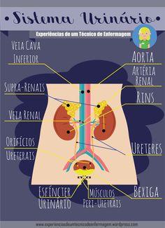 Anatomia básica do sistema urinário