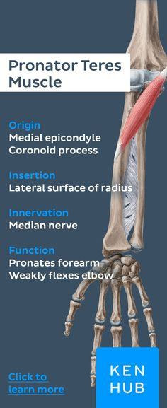 The pronator teres belongs to the superficial flexor of the forearm. about it with Kenhub's muscle facts! Anatomy Study, Anatomy Reference, Forearm Anatomy, Median Nerve, Musculoskeletal System, Muscular System, Human Anatomy And Physiology, Muscle Anatomy, Massage Benefits