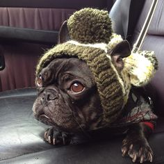My moms a knitting Idiot! Please help me.  Funny French bulldog.
