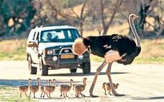 Image result for baby ostrich