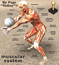 Muscular System #Volley Funny Stuff