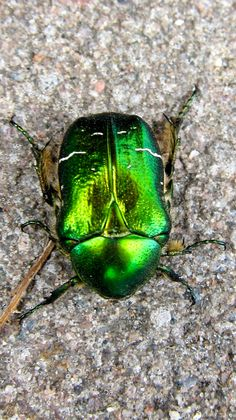 Bug, photo by Josefine Mulvad.a dung beatle