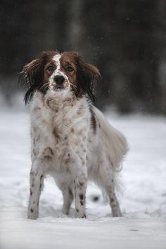 Winter Pose - Just a snowy day in Sweden! Kooikerhondje Daisy, 5 yo.